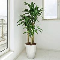 ■光触媒観葉植物(人工植物) 幸福の木1.6mは、お部屋のアクセントや空間に彩りを添え、空気をキレイ...