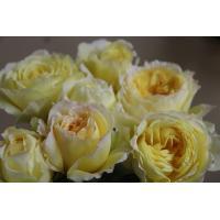 19・NEW・バラ苗・切り花品種接ぎ木 kn28-2 2~3号