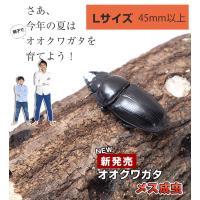 【新成虫 国産 オオクワガタ成虫メス】Lサイズ 45mm~