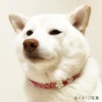 ワンコチョーカー【キューティサクラ】超小型犬用|nanarin-house|02