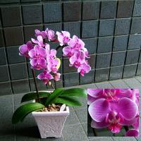 どこでも場所を取らずに飾れる小輪ピンク胡蝶蘭 高さ40cm前後の小型の胡蝶蘭です。 キャリアのあるフ...