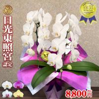 世界遺産にも登録されている日光東照宮認定の胡蝶蘭です。  「花持ちが凄い」と卸販売先や個人のお客様か...