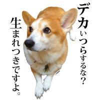 犬柄デザインTシャツシリーズ【コーギー】 「デカいつらするな?」半袖 ホワイト