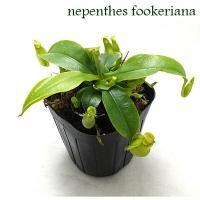 ネペンテス フーケリアナ・・・ラフレシアナとアンプラリアの自然交配種と言われています。希少価値の高い...