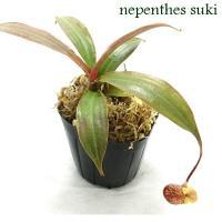 ネペンテス スキ・・・赤緑の葉に、袋口部分が黄色く色づくのが特徴の美しい品種となります。 ラフレシア...
