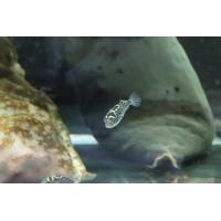 【淡水魚】完全淡水ハチノジフグ【1匹】(淡水フグ)20200618