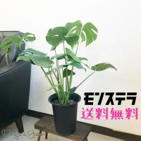 人気で育てやすい観葉植物、送料無料  サイズ:高さ 鉢底から50〜60cm前後 6号鉢  受け皿付き...
