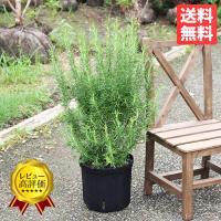 ボリューム有り ローズマリー 立性 鉢植え 観葉植物 苗 苗木 ハーブ 送料無料