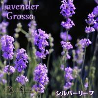 """""""香りの女王""""と呼ばれる花、ラベンダー。 「グロッソ」は開花すると爽やかな芳香が楽しめ、 耐寒、耐暑..."""