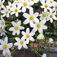 美しい花の魅力にハマっているコレクターも多いクレマチス。花の形や色は様々なバリエーションがあります。...