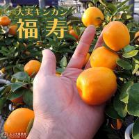 大実キンカン (福寿金柑) 15cmポット接木苗