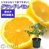 ( 実付き ) レモンの木 実付きの鉢植え『 グランドレモン 』 接ぎ木苗 8号鉢 【 送料無料 】( ※実付き2個以上 )<今だけポイント10倍 8/13昼迄>