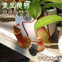 食虫植物 『 ネペンテス ( ウツボカズラ ) 』 3号鉢植え