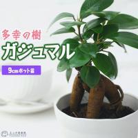 ガジュマル ( がじゅまる )ミニ観葉 7.5cmポット( 幸せの木 多幸の木 )