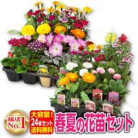 春〜夏の季節の花苗を6種類以上24個入れた花苗24個セット♪  色んなお花を楽しんでもれえるように6...