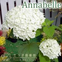 アナベルは、アメリカ原産の手まり咲きのアジサイです。咲きはじめた装飾花は、薄緑色から純白に変化します...