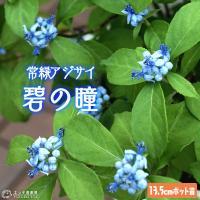 常緑アジサイ 『 碧の瞳 ( アオノヒトミ ) 』 13.5cmポット苗 珍種 ≪ 花芽付き ≫