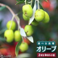 オリーブ (2年生) 4号ポット苗 (全12品種) 選べる品種
