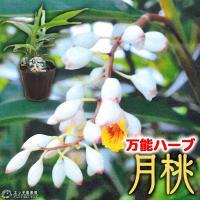 ゲットウは、沖縄や東アジア原産の多年草です。花は茎の先端から枝垂れるように付け、蕾は白く貝殻のような...