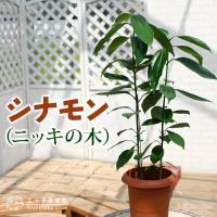 シナモン ( ニッキの木 )7号鉢植え