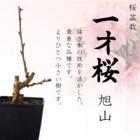 一才桜の旭山(あさひやま)は、小さな樹形いっぱいに薄紅色の花が咲く鉢植え向きの桜です。花弁2cmにも...