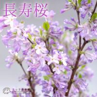 長寿桜 ( チョウジュザクラ ) 4号鉢植え(花芽付き) <今だけポイント10倍 2/27昼迄>