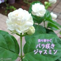 純白で、甘い芳香のある八重咲きの花をたくさん咲かせます。茉莉花(マツリカ)、アラビアンジャスミンとも...