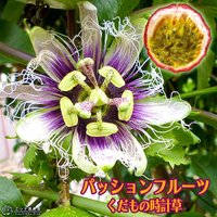 くだもの時計草(トケイソウ)は、時計の文字盤みたいな花が咲いて、丸い果実がなります。「パッションフル...
