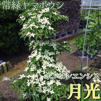 ホンコンエンシス(月光)はヤマボウシの中では珍しい常緑の品種です。 花付きが非常に良く、その名の通り...
