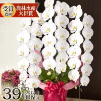 ◆大輪3本立ち36輪〜(品種・サイズは商品画像参照)※植物のため個体差が生じる場合がございます。 鉢...
