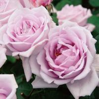 アウトレット バラ苗 大苗 つるブルームーン つるバラ CL 返り咲き 紫系