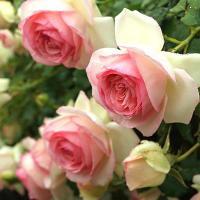 バラ苗 ピエールドゥロンサール 国産新苗4号ポリ鉢つるバラ(CL) 返り咲き 複色系