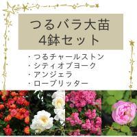 ドキドキわくわく、どの品種が届くかお楽しみ! シークレットのバラ苗4鉢セットです。  ハロウィンのド...