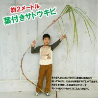 そのまんまさとうきび(サトウキビ)2mサイズ