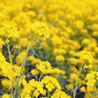 緑肥の種 菜の花 500g