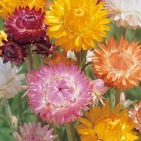 英名「ストローフラワー」。 乾燥した麦わらを思わせる花弁をもち、色彩も鮮やかでドライフラワーにすると...