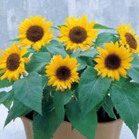 黄色の一重花、茶褐色の芯。基本的に1本立ち。草丈・姿の揃いがよく作りやすい。花壇での草丈30〜40c...
