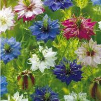 草丈約60cmの耐寒性一年草で、花径4〜5cmの花を1茎に1花ずつ咲かせ、葉は深く切れ込みます。 実...