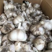 青森県産 ニンニク 球根 種ニンニク 葫(にんにく) ホワイト六片 種球 約400g(20~30個)