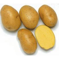 品種名:インカのめざめ 商品内容:種芋 1kg入り 比較的小ぶりのじゃがいもで、肉色は綺麗な黄色をし...