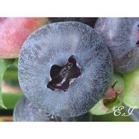 中生〜晩生種。成熟期7月中旬。樹勢は旺盛。 果実はブルーベリー中最大果。風味は非常に優れる。温暖地で...