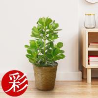 観葉植物 クルシア・ロゼア 6号 キャラメルブラウン 鉢カバー付き セット 大型 室内用 インテリア おしゃれ 開店祝い お祝い 新築祝い 母の日