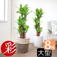 観葉植物 幸福の木 ドラセナ・マッサンゲアナ 8号 鉢カバー付き 父の日