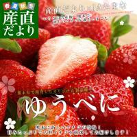 送料無料 熊本県より産地直送 熊本県JAたまな 新品種のいちご「ゆうべに」 秀品 2から3Lサイズ 540g(270g×2P) 苺 イチゴ ※クール便