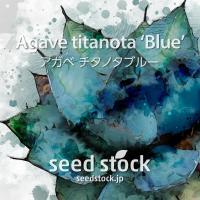 アガベの種子 チタノタ ブルー Agave titanota 'Blue'
