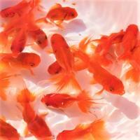 金魚/オランダ獅子頭 10匹