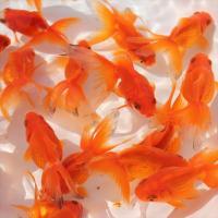 金魚/琉金 10匹