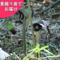 ウラシマソウ 素掘り苗5株 山野草【入荷済み】