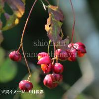 (1ポット) ツリバナマユミ 10.5cmポット仮植え苗