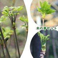 それぞれの山菜苗の栽培説明書をつけてお届けします!